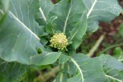 Crescita della pianta dei broccoli di Romanesco Immagine Stock Libera da Diritti