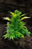 Crescita della pianta di marijuana Fotografia Stock
