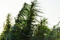 Crescita della pianta di marijuana fotografie stock libere da diritti
