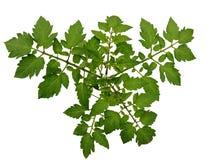 Crescita della pianta di pomodori Immagini Stock