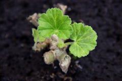 Crescita della pianta verde Fotografie Stock
