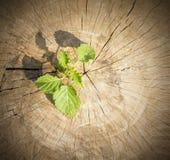 Crescita della plantula Fotografie Stock
