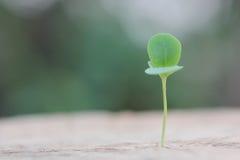 Crescita della plantula Immagine Stock Libera da Diritti