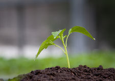 Crescita della plantula Fotografia Stock Libera da Diritti