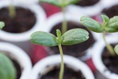 Crescita della plantula Fotografia Stock
