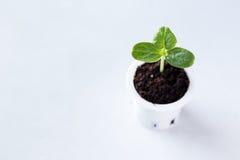 Crescita della plantula Fotografie Stock Libere da Diritti