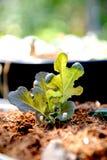 Crescita della plantula Immagini Stock