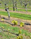 Crescita della primavera sulle viti di Sauvignon Blanc in Marlborough, nuovo Zeala Fotografia Stock