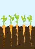 Crescita delle carote Fotografie Stock Libere da Diritti