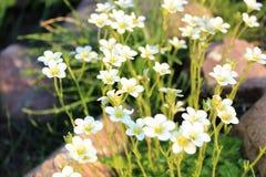 Crescita delle margherite bianche Fotografie Stock