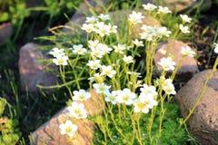 Crescita delle margherite bianche Fotografia Stock