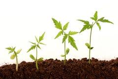 Crescita delle piante Fotografia Stock Libera da Diritti