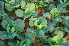 Crescita delle piante dei cavoli verdi Fotografia Stock Libera da Diritti