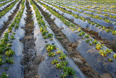 Crescita delle piante di fragola Immagine Stock Libera da Diritti