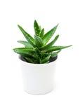 Crescita di aloe vera nel vaso da fiori isolato su bianco Immagine Stock