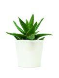 Crescita di aloe vera nel vaso da fiori isolato su bianco Fotografia Stock Libera da Diritti