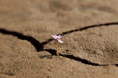 Crescita di fiore dalla terra incrinata asciutta Fotografia Stock Libera da Diritti
