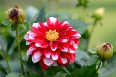 Crescita di fiori bianca e rossa nel giardino Fotografie Stock