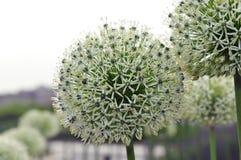 Crescita di fiori bianchi del porro selvaggio (allium) nel giardino Immagini Stock Libere da Diritti