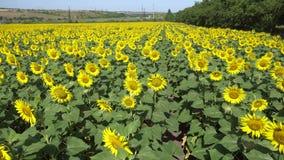 Crescita di fiori del girasole di estate su un campo lungo la strada in un villaggio vicino alla città archivi video