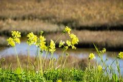 Crescita di fiori del ranuncolo di Bermude sui litorali di San Francisco Bay, California immagini stock libere da diritti