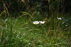 Crescita di fiori della camomilla nell'immagine brillante spessa della foto dell'erba fotografia stock libera da diritti