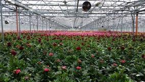 Crescita di fiori della dalia in una casa di crescita Immagini Stock Libere da Diritti