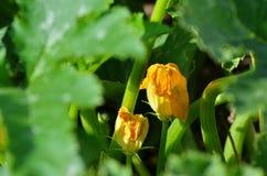 Crescita di fiori dello zucchini nel giardino di estate Fotografia Stock