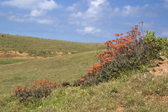 Crescita di fiori di Aoe Vera nell'Algarve, Portogallo Fotografie Stock Libere da Diritti