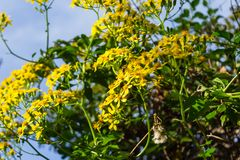 Crescita di fiori gialla su un cespuglio fotografia stock