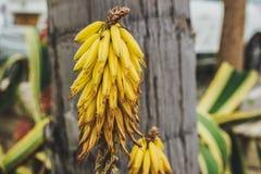 Crescita di fiori di giallo di vera dell'aloe sulla via Immagine Stock Libera da Diritti
