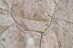 Crescita di fiori nelle crepe delle rocce Immagini Stock