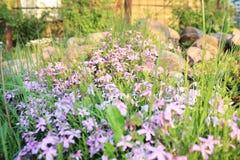 Crescita di fiori porpora Fotografia Stock