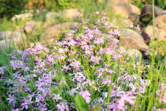 Crescita di fiori porpora Immagine Stock