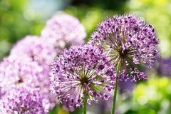 Crescita di fiori porpora dell'allium nel giardino Immagine Stock Libera da Diritti