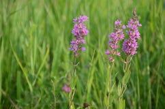 Crescita di fiori porpora nell'erba verde alta Fotografia Stock Libera da Diritti
