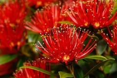 Crescita di fiori di Rata alla gola di Otira immagine stock libera da diritti