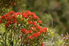 Crescita di fiori di Rata alla gola di Otira fotografie stock libere da diritti