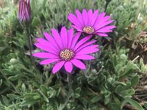 Crescita di fiori rosa luminosa selvaggia in porto vasto fotografia stock