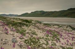 Crescita di fiori rosa nel clima del deserto vicino alla calotta glaciale groenlandese, Groenlandia fotografie stock libere da diritti