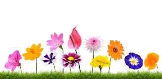 Crescita di fiori variopinta nell'erba isolata su bianco Immagini Stock
