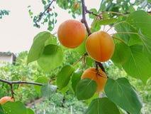 Crescita di frutti dolce matura dell'albicocca su un ramo di albero dell'albicocca Immagini Stock