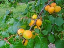 Crescita di frutti dolce matura dell'albicocca su un ramo di albero dell'albicocca Immagine Stock Libera da Diritti