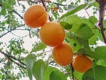 Crescita di frutti dolce matura dell'albicocca su un ramo di albero dell'albicocca Fotografia Stock