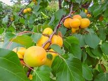 Crescita di frutti dolce matura dell'albicocca su un ramo di albero dell'albicocca Fotografia Stock Libera da Diritti