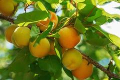 Crescita di frutti dolce matura dell'albicocca su un ramo di albero dell'albicocca dentro o Immagini Stock Libere da Diritti