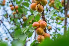 Crescita di frutti dolce matura dell'albicocca su un ramo di albero dell'albicocca dentro o Fotografia Stock
