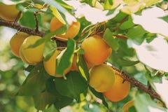 Crescita di frutti dolce matura dell'albicocca su un ramo di albero dell'albicocca dentro o Immagini Stock