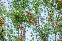 Crescita di frutti dolce matura dell'albicocca su un ramo di albero dell'albicocca dentro o Fotografia Stock Libera da Diritti