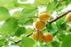 Crescita di frutti dolce matura dell'albicocca su un ramo di albero dell'albicocca dentro o Fotografie Stock Libere da Diritti